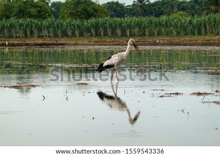 The great egret (Ardea alba), also known as the common egret, large egret, great white egret or great white heron on the a lake