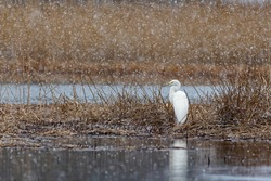 The great egret (Ardea alba), also known as the common egret, large egret, or great white egret or great white heron, standing still in the reed bed near the lake and brush its feathers.