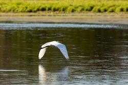 The great egret (Ardea alba), also known as the common egret, large egret, or great white egret or great white heron