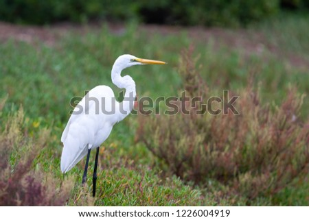 The great egret (Ardea alba), also known as the common egret, large egret, or (in the Old World) great white egret[2] or great white heron[3][4][5] is a large, widely distributed egret, with four subs