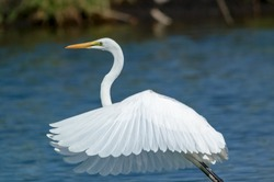 Thegreat egret(Ardea alba) is a species of bird from the family Ardeidae, of the genus Egretta. This bird is a type of fish-eating birds, shrimp that have habitat in mangroves and sand, rice fields.