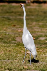 The Great Egret hunting in a park