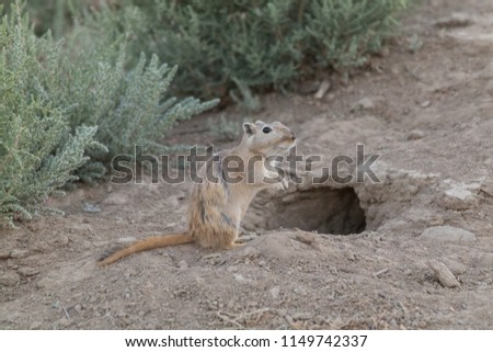 The great gerbil in the steppe, Kazakhstan, Central Asia