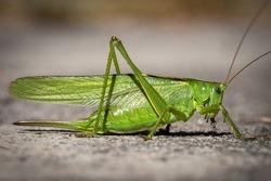 The great green bush-cricket (Tettigonia viridissima) is a large species of bush-cricket belonging to the subfamily Tettigoniinae