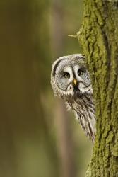 The Great Grey Owl or Lapland Owl, Strix nebulosa