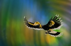 The Great Hornbill Flying on a green background