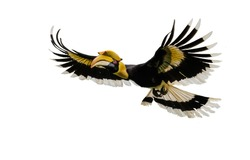 The Great hornbill Flying on the white ground