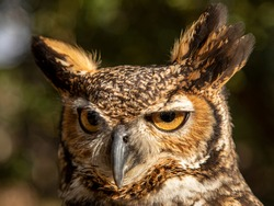 The great horned owl (Bubo virginianus), also known as the tiger owl or the hoot owl, is a large owl native to the Americas.