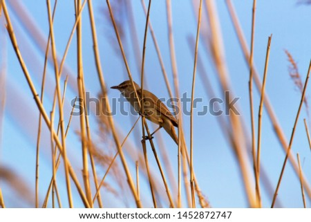 The Great Reed Warbler (Acrocephalus arundinaceus) sings on the tops of reeds in order to protect the nesting territory and attract females. Reproductive behavior, mating behavior #1452872747