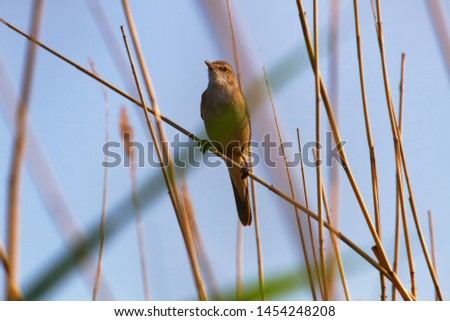 The Great Reed Warbler (Acrocephalus arundinaceus) sings on the tops of reeds in order to protect the nesting territory and attract females. Reproductive behavior, mating behavior #1454248208