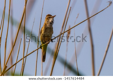The Great Reed Warbler (Acrocephalus arundinaceus) sings on the tops of reeds in order to protect the nesting territory and attract females. Reproductive behavior, mating behavior #1457614484