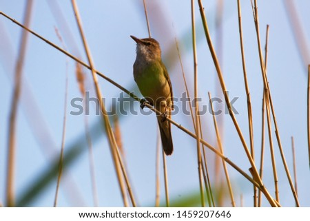 The Great Reed Warbler (Acrocephalus arundinaceus) sings on the tops of reeds in order to protect the nesting territory and attract females. Reproductive behavior, mating behavior #1459207646