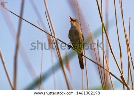 The Great Reed Warbler (Acrocephalus arundinaceus) sings on the tops of reeds in order to protect the nesting territory and attract females. Reproductive behavior, mating behavior #1461302198