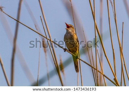 The Great Reed Warbler (Acrocephalus arundinaceus) sings on the tops of reeds in order to protect the nesting territory and attract females. Reproductive behavior, mating behavior #1473436193