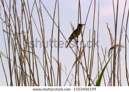 The Great Reed Warbler (Acrocephalus arundinaceus) sings on the tops of reeds in order to protect the nesting territory and attract females. Reproductive behavior, mating behavior #1503406199