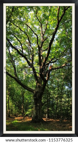 The Great Swamp Oak at Lord Stirling