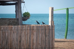 The Great-Tailed Grackle or Mexican Grackle (Quiscalus mexicanus), a Black Bird Holding a Piece of Wood in his Beak on a Wooden Fencein a Sunny Day near the Sea