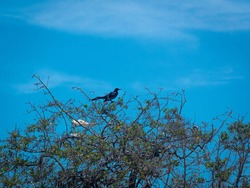 The Great-Tailed Grackle or Mexican Grackle (Quiscalus mexicanus), a Black Bird Singing on the Tree in a Sunny Day