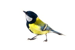 The Great tit (Parus major, male in breeding plumage) is shown in close-up in the statics and dynamics of body movements. Isolate on a white background