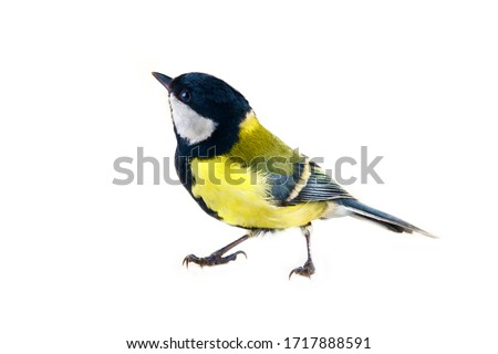 Photo of  The Great tit (Parus major, male in breeding plumage) is shown in close-up in the statics and dynamics of body movements. Isolate on a white background