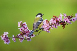 The great tit (Parus major). Singing male sits on a blossoming branch.