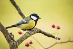 The great tit (Parus major) sitting on branch in to the dog rose shrubbery during the warm winter in december
