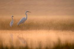 The Great White Egret at Sunrise