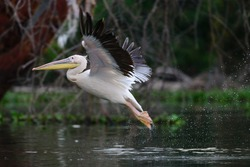 The great white pelican (Pelecanus onocrotalus) is a bird in the pelican family. It breeds from southeastern Europe through Asia and Africa, in swamps and shallow lakes.