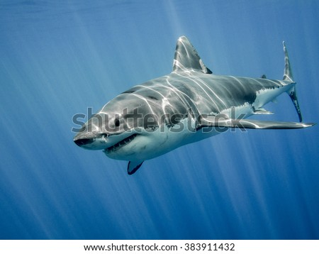 The great white shark in the big blue