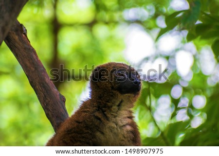 The greater bamboo lemur (Prolemur simus), also known as the broad-nosed bamboo lemur is the largest bamboo lemur, at over five pounds or nearly 2.5 kilograms