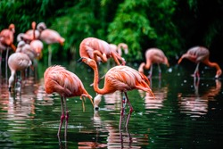 The greater flamingo (Phoenicopterus roseus) is the most widespread and largest species of the flamingo family.