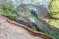 The green anaconda (Eunectes murinus) with Cloudy eyes in the water. It is a boa species found in South America. It is the heaviest and one of the longest known extant snake species.