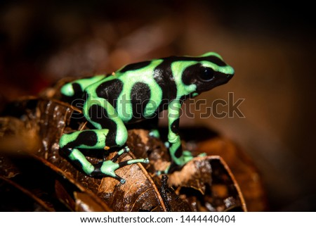 The green-and-black poison dart frog (Dendrobates auratus), or green-and-black poison arrow frog at Carara National Park, Costa Rica Stock foto ©