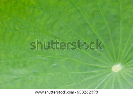 Stock Photo The green background of lotus leaf is not sharp.