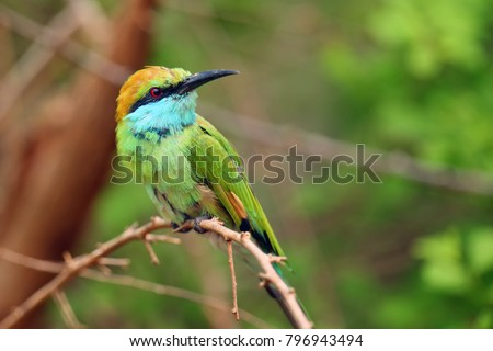 The green bee-eater (Merops orientalis) sometimes little green bee-eater sitting on the branch