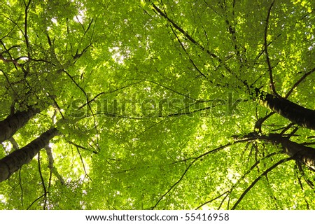 The green beeches trees top.