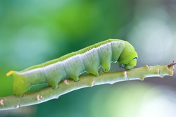 The green caterpillar creep on branch.