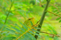 The green chameleon (Bronchocela jubata) is watching the prey on the tree. Bronchocela jubata is a common chameleon in Indonesia. These lizards are usually found in bushes and trees.
