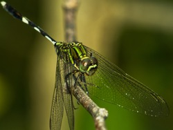 The Green Dragonfly close-up view