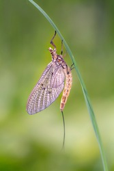 The green drake or green drake mayfly - Ephemera danica, is a species of mayfly in the genus Ephemera