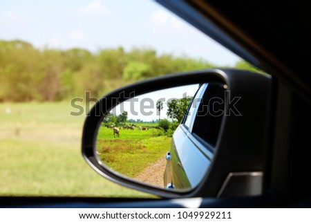 The green farm with many cows and oxen beside the dirt road from the reflection in left side mirror of a car #1049929211