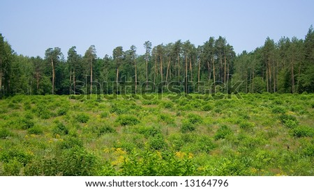 the green field and cones forest pines evergreen panorama line