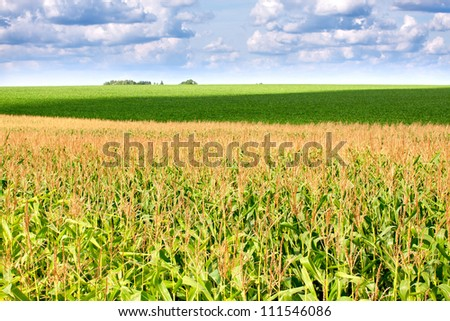The green field with corn under cloudy sky