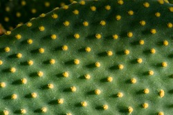 The green flat cactus background is beautiful. Cactus Texture natural background. Flat leaves of green and yellow cactus with needles pattern. Textured natural backdrop.