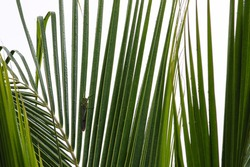 The green grasshopper camouflaged among the leaves of a palm tree protecting itself from predators