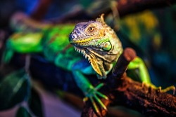 The green iguana, also known as the American iguana, mostly herbivorous species of lizard of the genus Iguana. This is the residual dinosaur reptile that needs to be preserved in the natural world