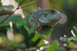 The green iguana (Iguana iguana), also known as the American iguana,