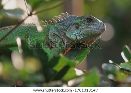 The green iguana (Iguana iguana), also known as the American iguana, Zdjęcia stock ©