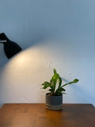 The green leaf plant is warmed by the light of the lamp. Painted wall texture photo
