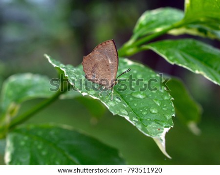 The Green Oakblue (Arhopala eumolphus maxwelli) is a lycaenid butterfly found in the Indomalayan realm The adults are tailed and moderately large.  #793511920
